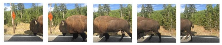 buffalo walk